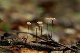 Marasmius androsaceus sur une branche en Estonie. Source : http://data.abuledu.org/URI/557a1356-marasmius-androsaceus-sur-une-branche-en-estonie
