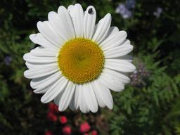 Marguerite. Source : http://data.abuledu.org/URI/47f50608-marguerite