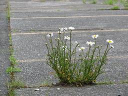 Marguerites fleurissant au travers du béton. Source : http://data.abuledu.org/URI/582ea444-marguerites-fleurissant-au-travers-du-beton