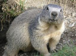 Marmotte. Source : http://data.abuledu.org/URI/50869d22-marmotte