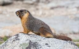 Marmotte à ventre jaune. Source : http://data.abuledu.org/URI/54df8efc-marmotte-a-ventre-jaune