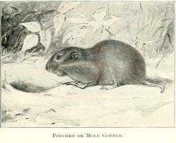 Marmotte devant son terrier. Source : http://data.abuledu.org/URI/5880bf0f-marmotte-devant-son-terrier