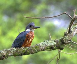 Martin pêcheur à ventre roux. Source : http://data.abuledu.org/URI/5030268f-martin-pecheur-a-ventre-roux