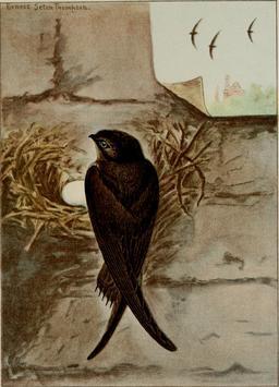 Martinet ramoneur près de son nid. Source : http://data.abuledu.org/URI/58811a6b-martinet-ramoneur-pres-de-son-nid