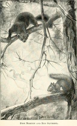 Martre et écureuil roux dans un arbre. Source : http://data.abuledu.org/URI/587eba47-martre-et-ecureuil-roux-dans-un-arbre
