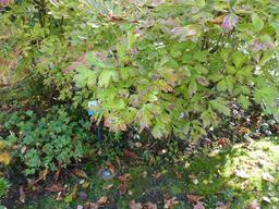 Massif de pivoines dans le jardin du musée de l'école de Nancy. Source : http://data.abuledu.org/URI/5818fa81-massif-de-pivoines-dans-le-jardin-du-musee-de-l-ecole-de-nancy