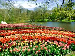 Massifs de tulipes aux Pays-Bas. Source : http://data.abuledu.org/URI/53af3148-massifs-de-tulipes-aux-pays-bas