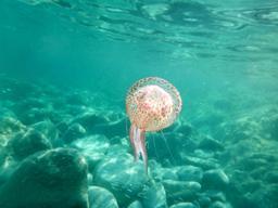 Méduse en Corse. Source : http://data.abuledu.org/URI/56d5ffd4-meduse-en-corse