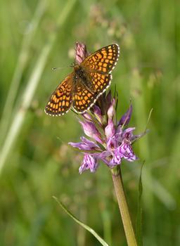 Mélitée sêchant ses ailes sur une orchis. Source : http://data.abuledu.org/URI/58a0b4b3-melitee-sechant-ses-ailes-sur-une-orchis