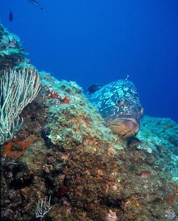 Mérou brun. Source : http://data.abuledu.org/URI/548d6333-merou-brun