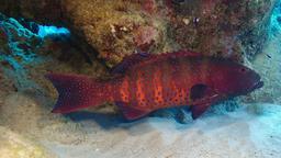 Mérou corallien de Mer Rouge. Source : http://data.abuledu.org/URI/554513b1-merou-corallien-de-mer-rouge