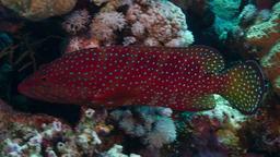 Mérou de Mer Rouge. Source : http://data.abuledu.org/URI/549f51e4-merou-de-mer-rouge