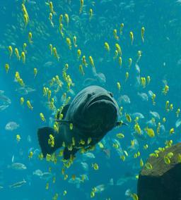 Mérou géant en aquarium. Source : http://data.abuledu.org/URI/548d56a2-merou-geant-en-aquarium