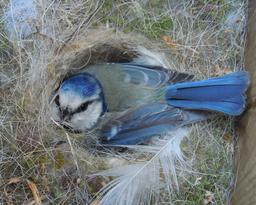 Mésange bleue au nid. Source : http://data.abuledu.org/URI/52488d10-mesange-bleue-au-nid