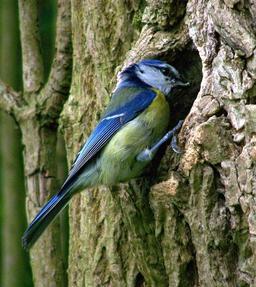 Mésange bleue nourrissant son petit. Source : http://data.abuledu.org/URI/524890ac-mesange-bleue-nourrissant-son-petit