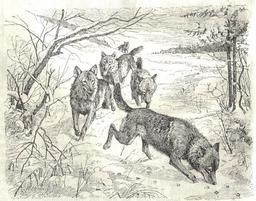 Meute de loups. Source : http://data.abuledu.org/URI/51fd1acd-meute-de-loups