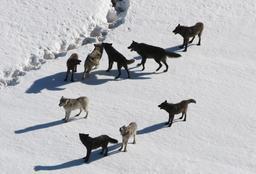 Meute de loups en hiver. Source : http://data.abuledu.org/URI/538c57b9-meute-de-loups-en-hiver