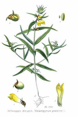Millet des bois ou mélampyre des prés. Source : http://data.abuledu.org/URI/505e2435-millet-des-bois-ou-melampyre-des-pres
