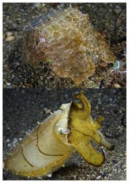Mimétisme de la seiche. Source : http://data.abuledu.org/URI/5850022d-mimetisme-de-la-seiche