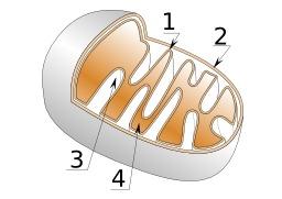 Mitochondrie. Source : http://data.abuledu.org/URI/50709f6e-mitochondrie