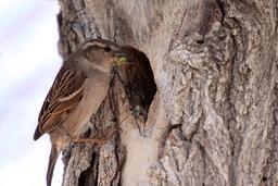 Moineau domestique nichant dans un arbre creux. Source : http://data.abuledu.org/URI/52488ad7-moineau-domestique-nichant-dans-un-arbre-creux