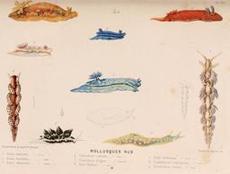 Mollusques en 1866. Source : http://data.abuledu.org/URI/5945333f-mollusques-en-1866