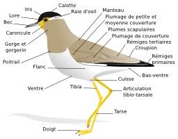 Morphologie d'un oiseau. Source : http://data.abuledu.org/URI/529b474d-morphologie-d-un-oiseau