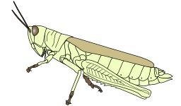 Morphologie d'un orthoptère. Source : http://data.abuledu.org/URI/54d1416b-morphologie-d-un-orthoptere