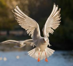 Mouette rieuse. Source : http://data.abuledu.org/URI/54d9c058-mouette-rieuse-