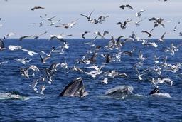 Mouettes et baleines près du Cap Cod. Source : http://data.abuledu.org/URI/54d0f0af-mouettes-et-baleines-pres-du-cap-cod