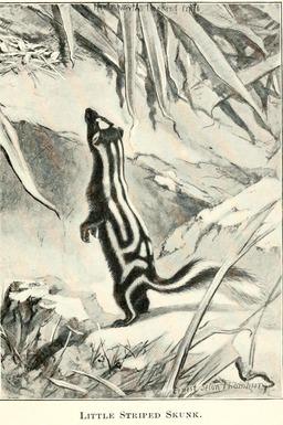 Mouffette rayée. Source : http://data.abuledu.org/URI/587eb971-mouffette-rayee