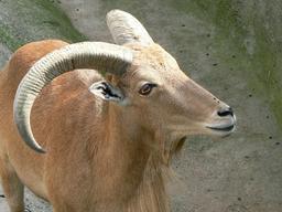Mouflon à manchettes. Source : http://data.abuledu.org/URI/516c6e06-mouflon-a-manchettes
