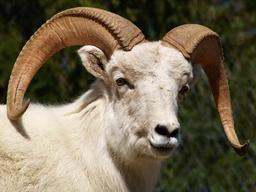 Mouflon de Dall. Source : http://data.abuledu.org/URI/516d6404-mouflon-de-dall