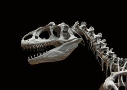 Moulage d'allosaure. Source : http://data.abuledu.org/URI/583903e7-moulage-d-allosaure