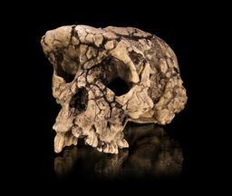 Moulage du crâne fossile de Toumaï. Source : http://data.abuledu.org/URI/52d072f5-moulage-du-crane-fossile-de-toumai