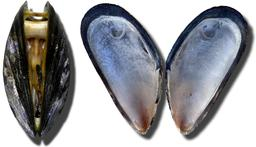 Moules. Source : http://data.abuledu.org/URI/509b9370-moules