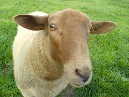 Mouton. Source : http://data.abuledu.org/URI/5060839f-moutons