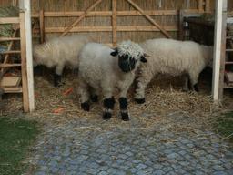 Moutons. Source : http://data.abuledu.org/URI/50e8dd72-moutons