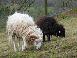 Moutons d'Ouessant. Source : http://data.abuledu.org/URI/54129c6e-moutons-d-ouessant