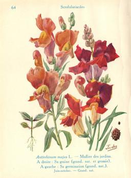 Muflier à grandes fleurs ou gueule-de-loup. Source : http://data.abuledu.org/URI/53ad963b-muflier-a-grandes-fleurs-ou-gueule-de-loup