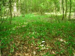 Muguet dans un sous-bois. Source : http://data.abuledu.org/URI/53956e30-muguet-dans-un-sous-bois