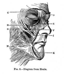 Muscles mobiles du visage. Source : http://data.abuledu.org/URI/591bf736-muscles-mobiles-du-visage