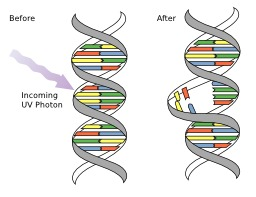 Mutation de l'ADN par exposition aux rayons UV. Source : http://data.abuledu.org/URI/50a81dfd-mutation-de-l-adn-par-exposition-aux-rayons-uv