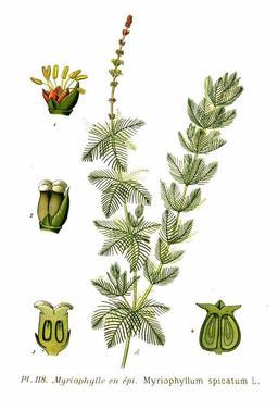Myriophylle en épi. Source : http://data.abuledu.org/URI/504e59ec-myriophylle-en-epi