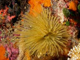 Vers annélides sous-marins. Source : http://data.abuledu.org/URI/58500da6-myxicola-sp-jpg