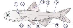 Nageoires d'un poisson. Source : http://data.abuledu.org/URI/502a7633-nageoires-d-un-poisson
