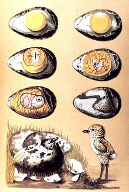 Naissance d'un oiseau. Source : http://data.abuledu.org/URI/50c7bc23-naissance-d-un-oiseau
