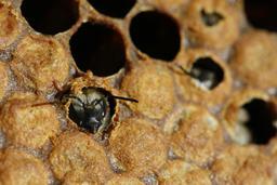 Naissance d'une abeille noire - 02. Source : http://data.abuledu.org/URI/542d132f-naissance-d-une-abeille-noire-02
