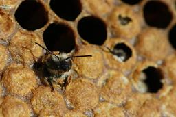 Naissance d'une abeille noire - 03. Source : http://data.abuledu.org/URI/542d1383-naissance-d-une-abeille-noire-03