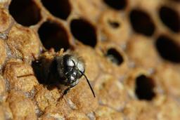 Naissance d'une abeille noire - 05. Source : http://data.abuledu.org/URI/542d1408-naissance-d-une-abeille-noire-05